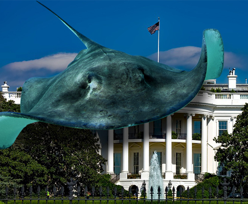 Sting Ray on Whitehouse